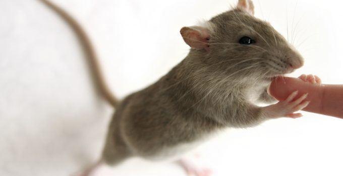 significado de sonhar com rato