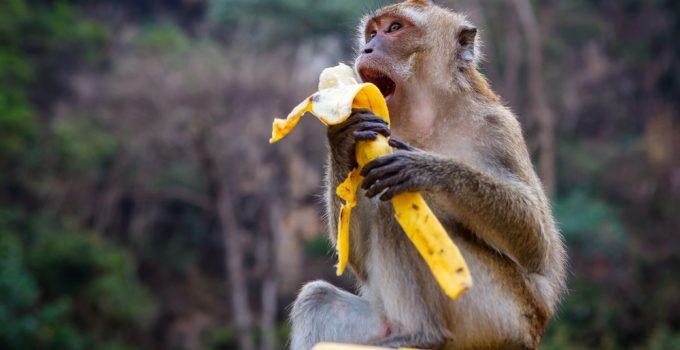 O que significa sonhar com macaco?