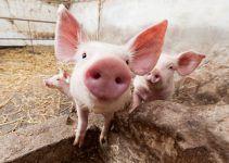 O que significa sonhar com porco?