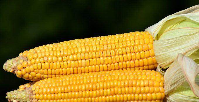 O que significa sonhar com milho?