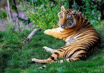 O que significa sonhar com tigre?