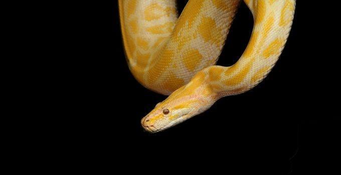 O que significa sonhar com cobra amarela?