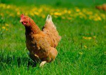 O que significa sonhar com galinha?