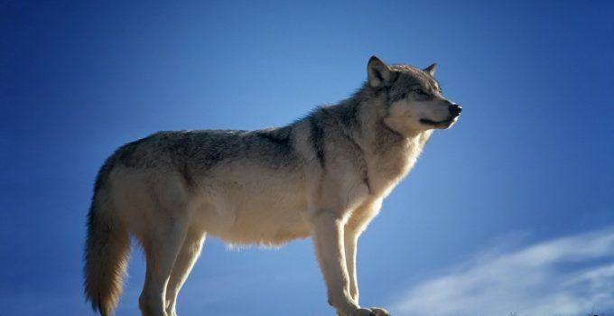O que significa sonhar com lobo?