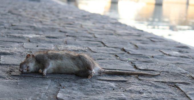 O que significa sonhar com rato morto?
