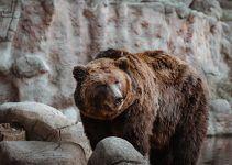 O que significa sonhar com urso?