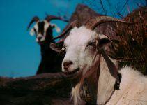 O que significa sonhar com cabra?