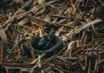 O que significa sonhar com cobra preta?