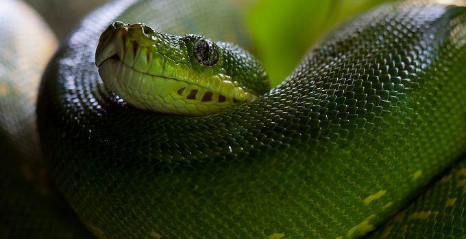 O que significa sonhar com cobra verde?