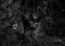 O que significa sonhar com gato preto?