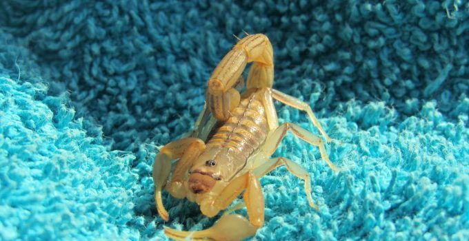 O que significa sonhar com escorpião amarelo?