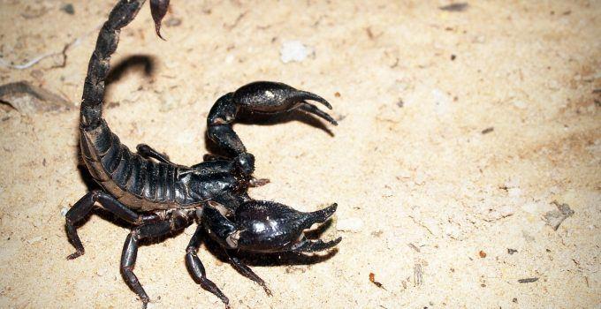 O que significa sonhar com escorpião preto?