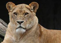 O que significa sonhar com leoa?